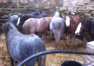 Seven ponies dumped in a grave yard